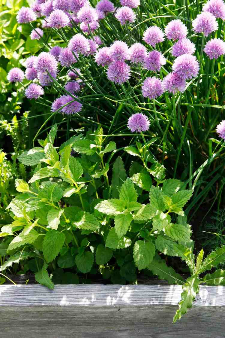 Chives and mint in a garden bed.