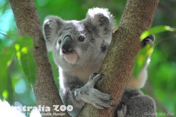 Koala Australia Zoo
