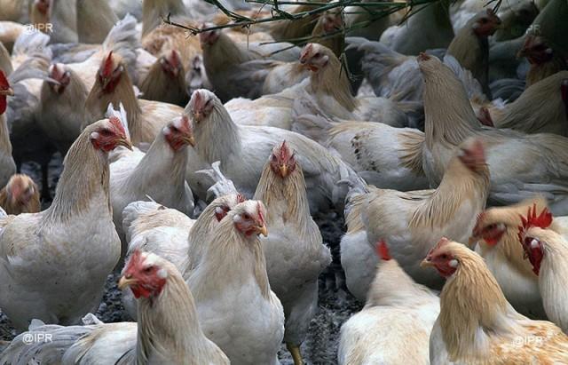 اتحاد الفلاحين يدعو الى التخفيض في انتاج الدواجن بنسبة 50 بالمائة والتوجه نحو بيع الدجاج الحي