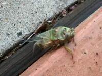 ... de cicade.