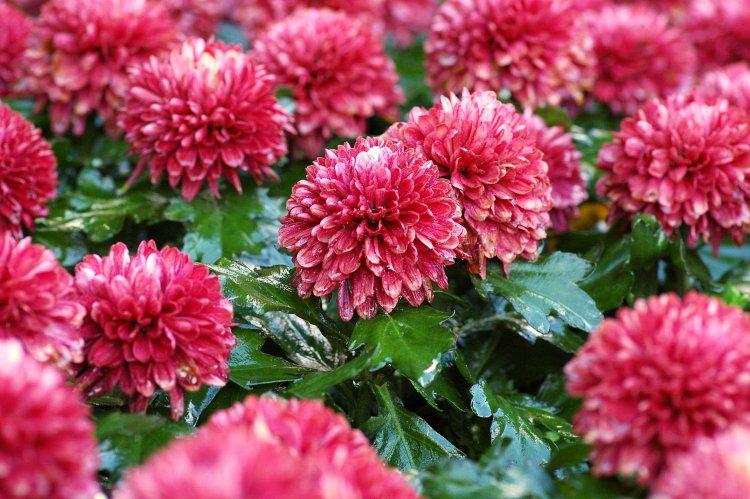 Bunga Krisan Yang Cantik