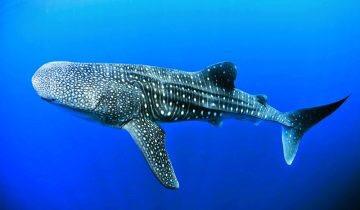 Tubarão nada pelas águas da Baía de Todos os Santos; veja vídeo