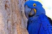 Fogo no Pantanal destrói maior refúgio mundial de araras-azuis