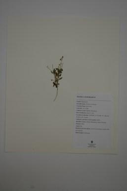 Erodium circutarium (Stork's Bill)