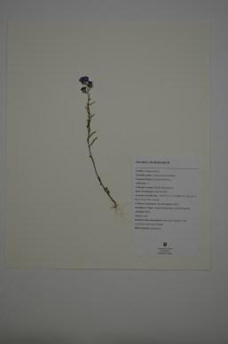 Campanula rotundifolia (Bluebell bellflower)