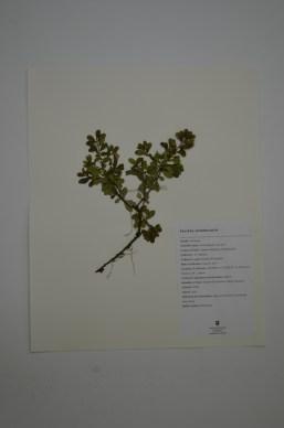 Arctostaphylos uva-ursi (common bearberry; kinnikinnick)