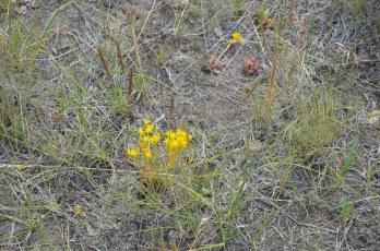 Sedum lanceolatum (Lance-leaved Stonecrop)