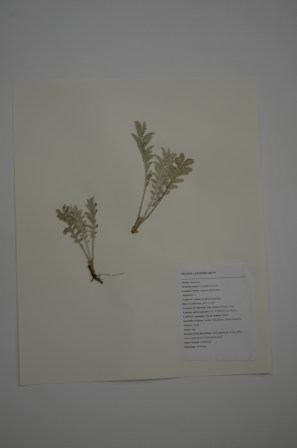 Potentilla anserina (commno silverweed)
