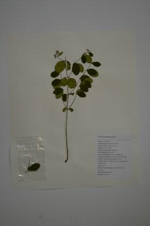 Symphoicarpus albus (common snowberry)