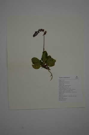 Pyrola asarifolia (pink wintergreen)