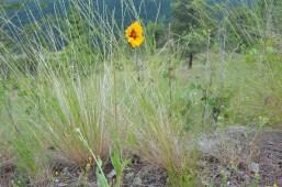 Gaillardia aristata (brown-eyed Susan)