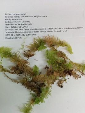 Ptilium crista-castrensis (Plume Moss, Knight's Plume)