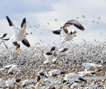 Snow Geese Reaction