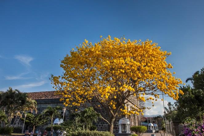 El Cortez Amarillo, la joya de cualquier jardín
