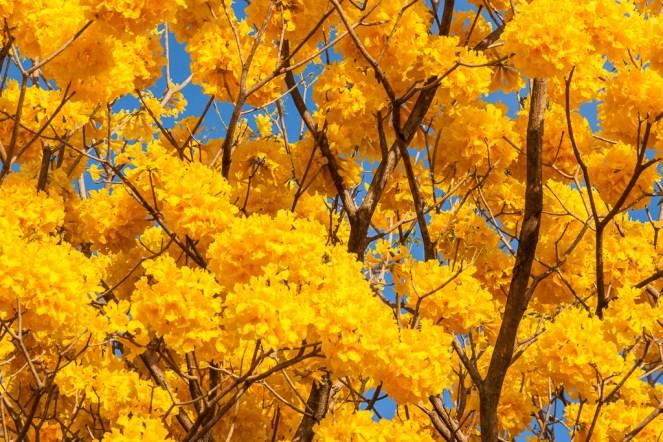 Visto de lejos, sus ramas parecen fuego y oro