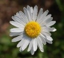 Picture of daisy