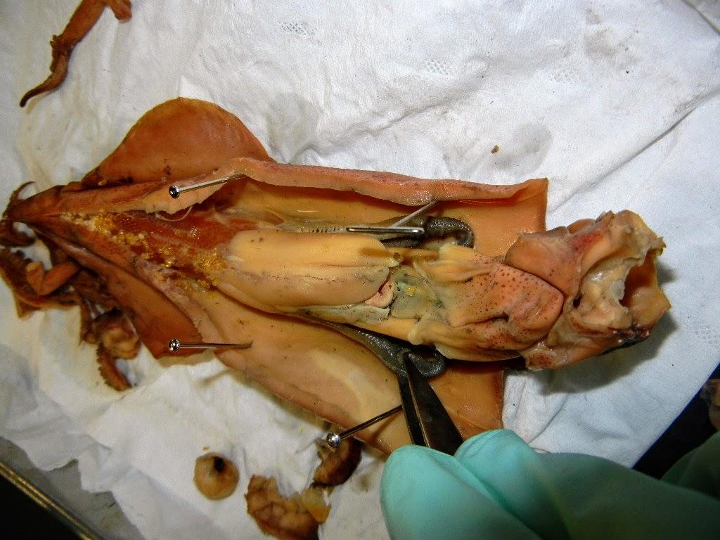Squid Body