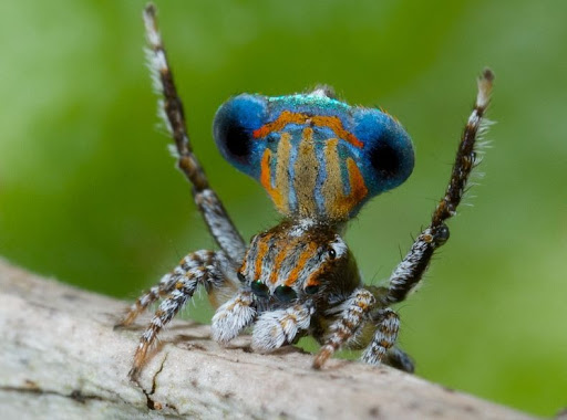 peacock-spider-10