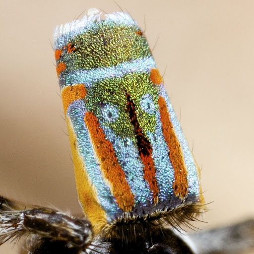 peacock-spider-7