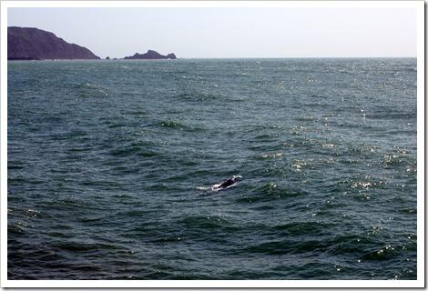 Вот уж неожиданность, так неожиданность - прямо около пирса плавали два кита. Правда я успела их буквально в последний момент поймать и не телевиком, но это невероятное счастье - увидеть из так прямо-таки с берега.