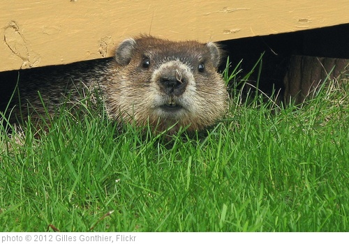 'Marmotte -- Groundhog' photo (c) 2012, Gilles Gonthier - license: http://creativecommons.org/licenses/by/2.0/