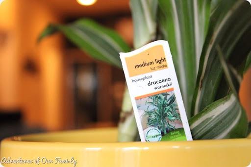 dracaena plant stand