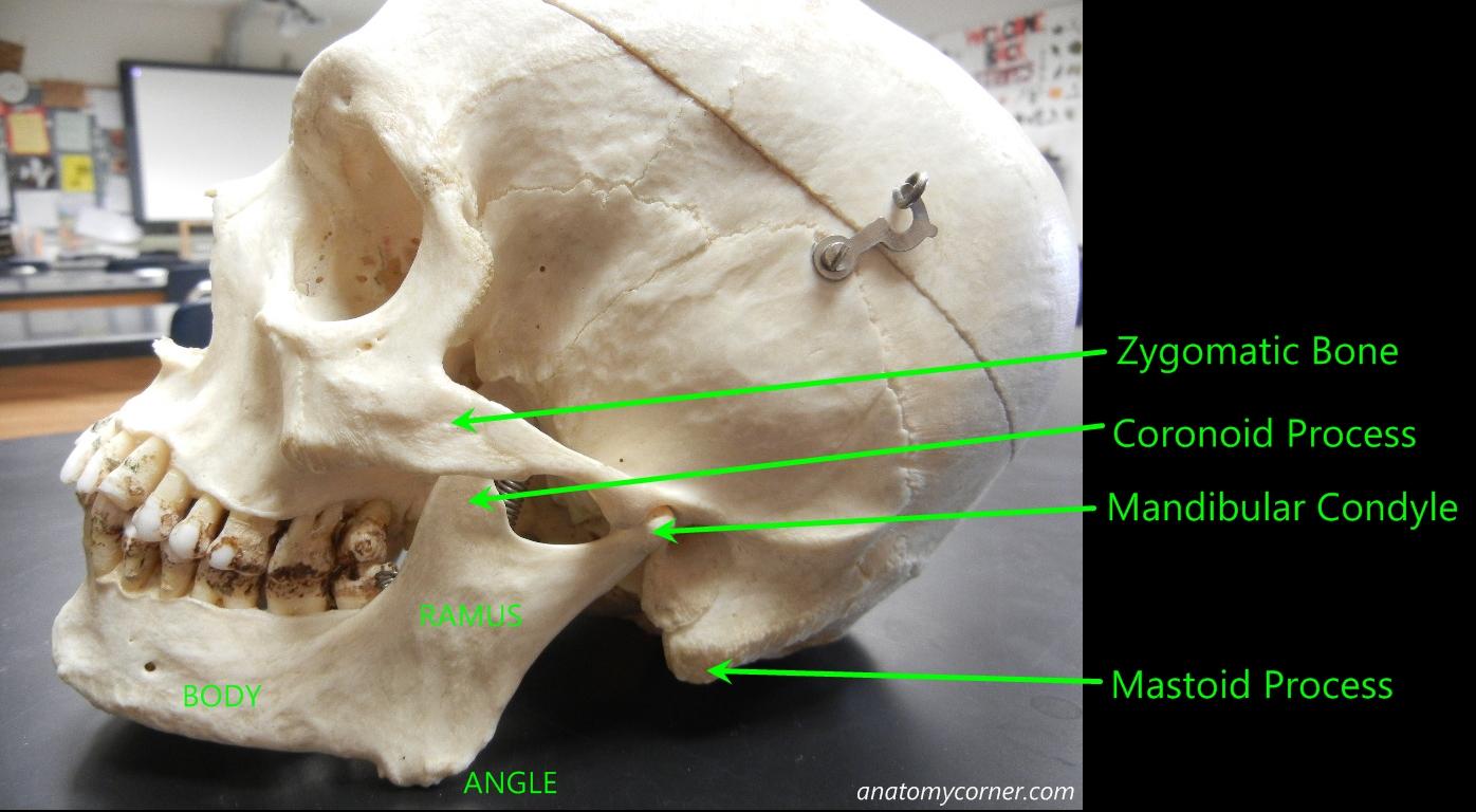 Skull Mandible Labeled