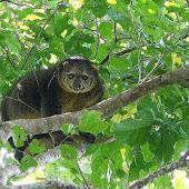 Cuscus bear.jpg