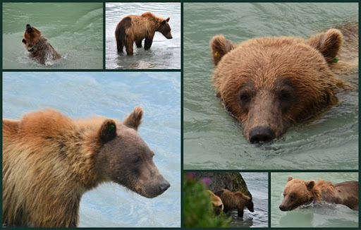 Bears at Haines