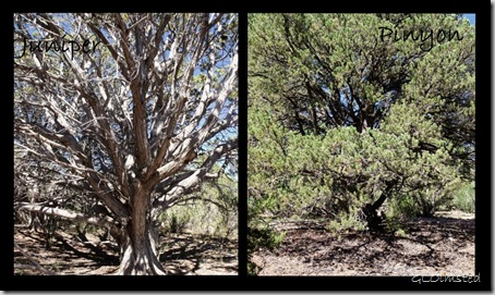 Ancient Juniper & Pinyon near Fence Point Kaibab National Forest Arizona