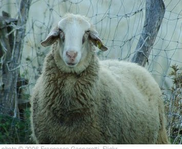 'Sheep Close-Up' photo (c) 2006, Francesco Gasparetti - license: http://creativecommons.org/licenses/by/2.0/