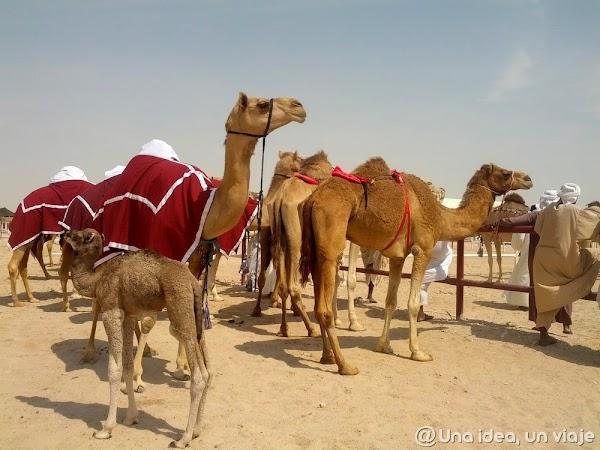 Qatar-Doha-Camellos-6.jpg