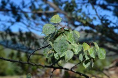 aspen leaf miner is getting to a huge area in the Yukon and BC