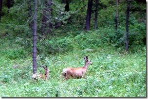 This mule deer doe had twins, Henry's Lake, ID