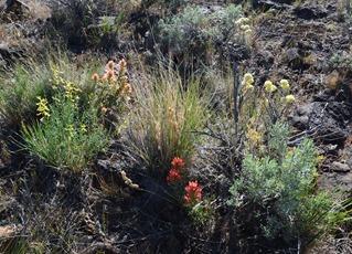 Warner Valley Overlook trail flowers