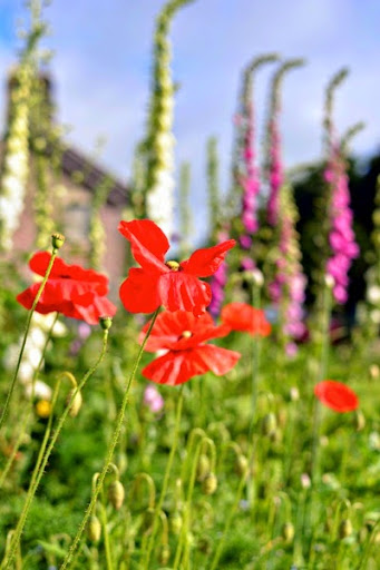 Foxgloves and poppies