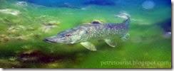 Gaps Ruidera Fish