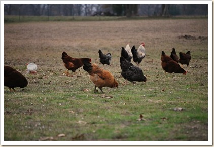 hens in field