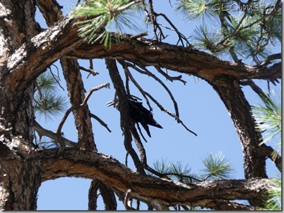 Raven in ponderosa pine along Cape Final trail North Rim Grand Canyon National Park Arizona