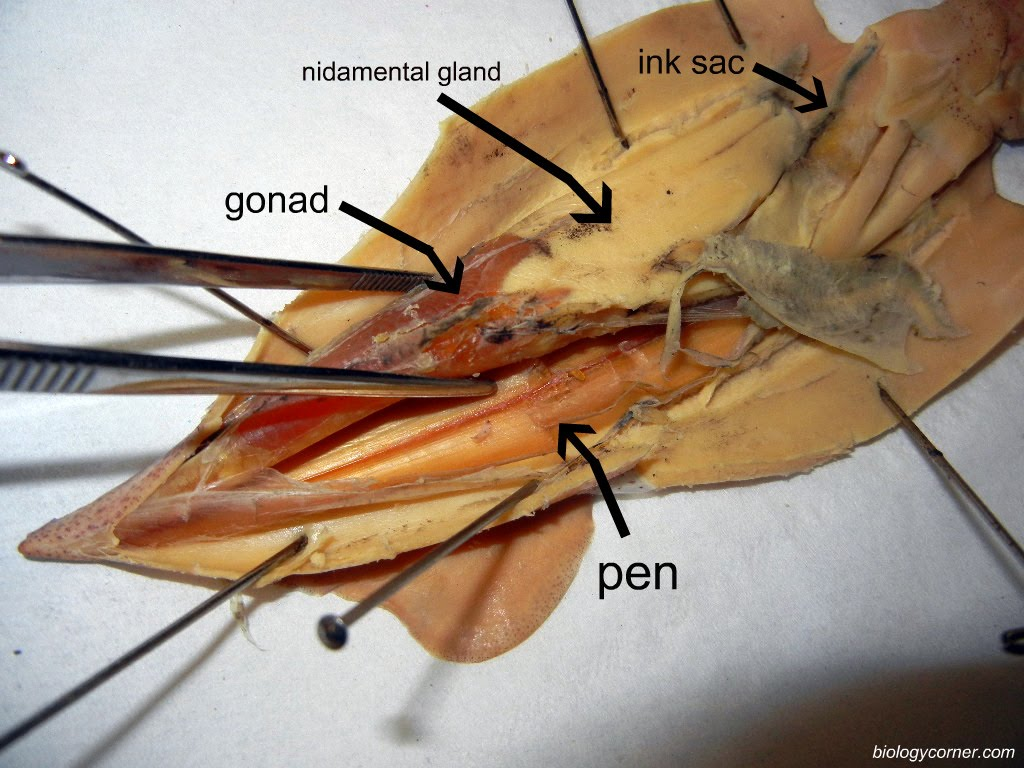 Nidamental Labeled