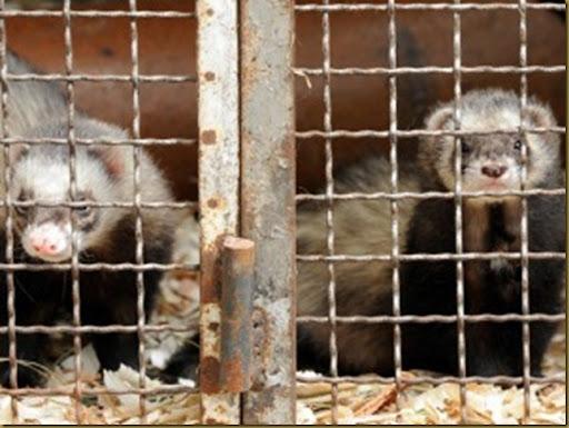 cruelty_cage_ferret