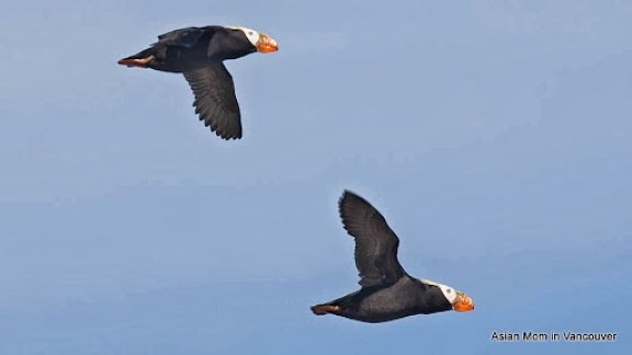 tufted puffin by hank .jpg
