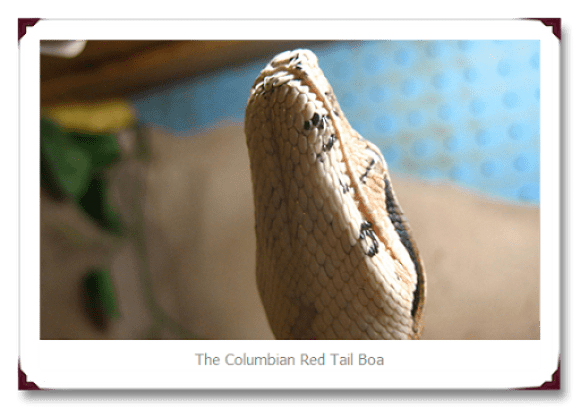 Columbian Red Tail Snake