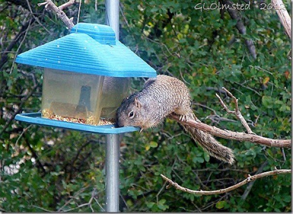 03 Rock squirrel on feeder Yarnell AZ (1024x746)