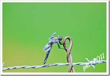 DSC_7231blueblack-dragonfly