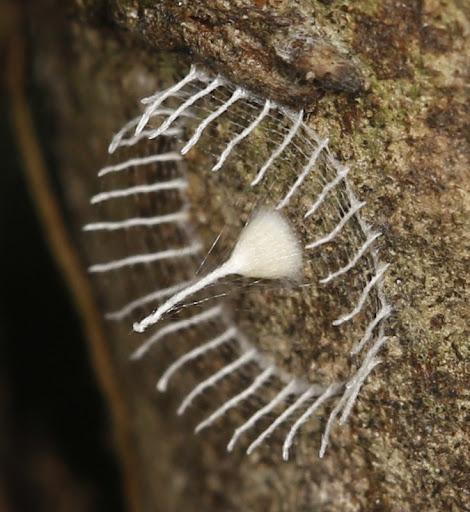 Resultado de imagem para uma Mariposa Urodid