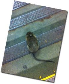 rat on the subway
