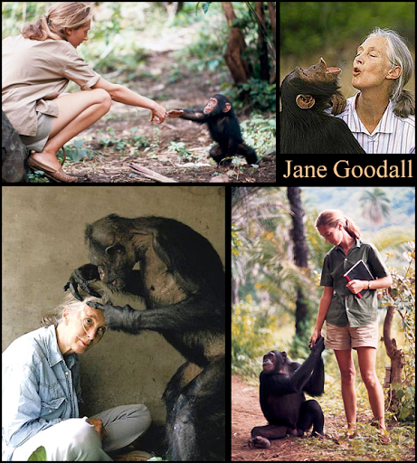 collage of four pictures of Jane Goodall interacting with chimps - two pics from the 1960s, two pics from recent years