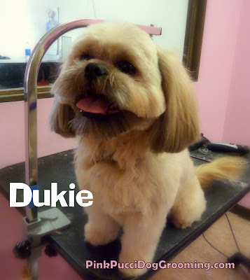 Dukie the Shih Tzu with a rounded teddy bear cut