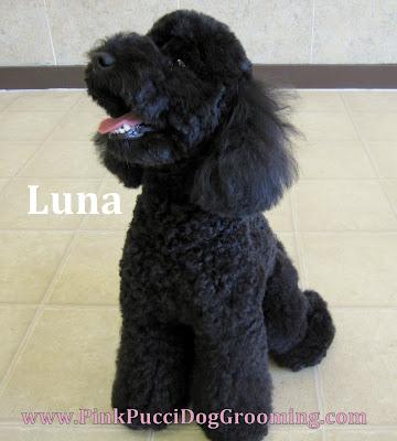 Miniature Poodle Luna